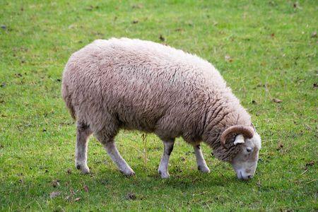 bocinas: Ram de pastoreo en un campo de c�sped verde en blanco