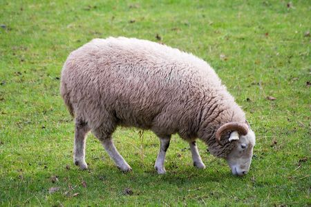 hairy male: White ram grazing in a green grass field Stock Photo