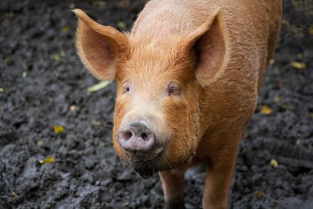 Brown pig looking at the camera in a muddy field photo