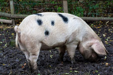 Gloucestershire Spotted  pig eating in a muddy field photo