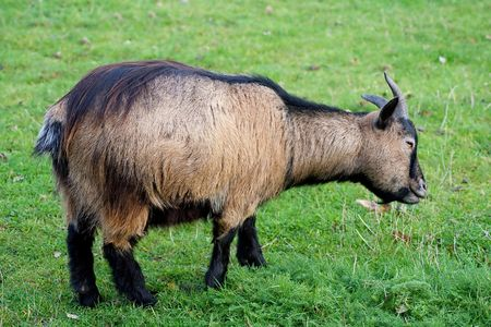 caprine: Side view of an old goat standing in a green grass field
