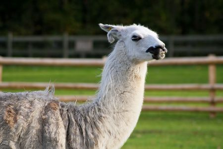 View of a South american lama in a farm photo