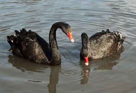 Two black swans (Cygnus atratus) in a lake photo