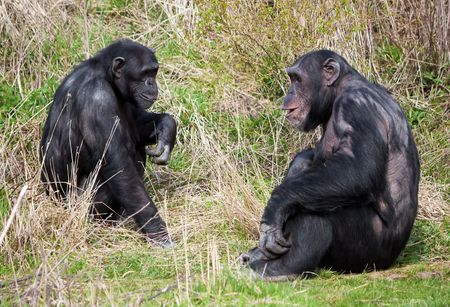 Two chimpanzees sitting in the grass photo