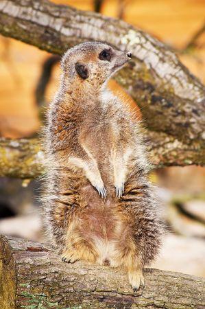 vigilant: A vigilant meerkat in a tree branch looking out for predators