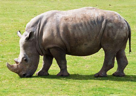 White rhinoceros grazing in a green grass field photo