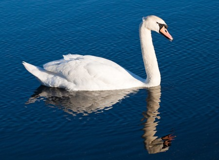 White swan with reflections on a clear blue lake Stock Photo - 7053633