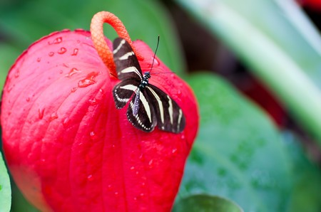 Beautiful butterfly on a big red flower photo