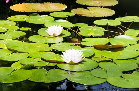 White water lilies in a pond photo