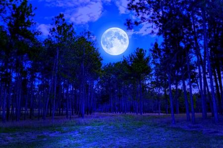 luz de luna: Bosque de pinos en la medianoche con una brillante luna llena