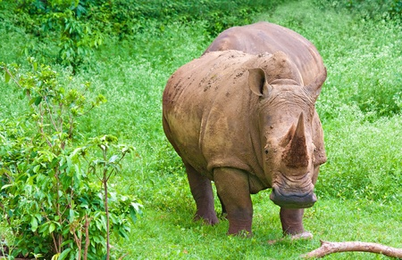 Rhinoceros grazing in a green field photo