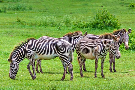 burchell: Harem of wild zebras in a tropical savanna