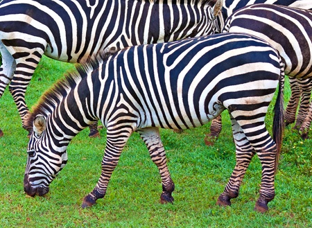 burchell: Wild zebras grazing in a green savanna