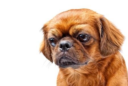 animal sad face: Pekingese dog isolated on white
