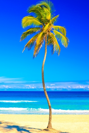 Coconut palm tree on the beautiful cuban beach of Varadero on a lovely sunny summer day photo
