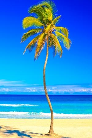 varadero: Coconut palm tree on the beautiful cuban beach of Varadero on a lovely sunny summer day