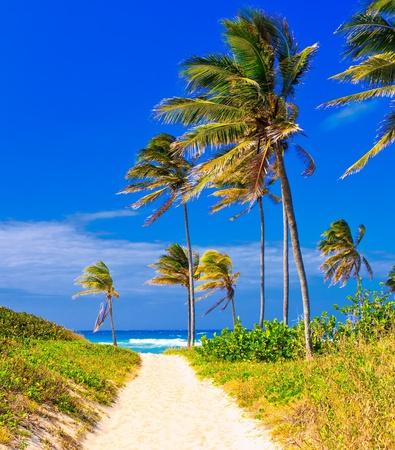 Coconut trees on the beautiful cuban beach of Varadero photo