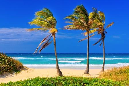 varadero: Coconut trees on the beautiful cuban beach of Varadero Stock Photo
