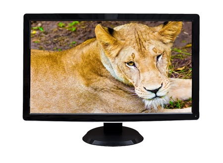 TV or computer monitor showing a wild female lion   isolated on white  photo