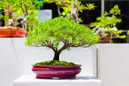 Exhibition of  japanese bonsai trees photo