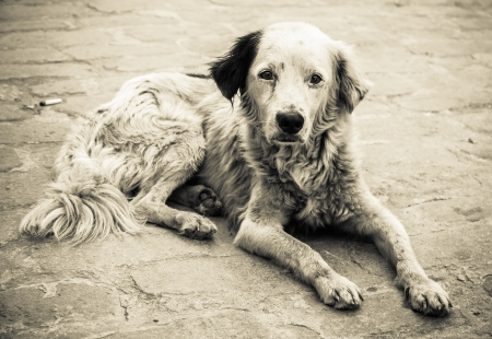 Black and white image of a sad and homeless  dog abandoned on the streets