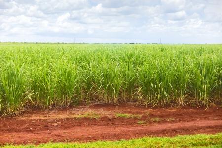 sugar cane farm: Sugar cane plantation in Cuba