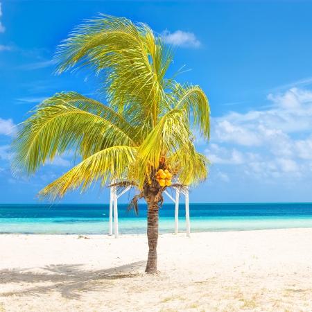 dat: Albero di cocco su una spiaggia tropicale a Cuba su una bella dat soleggiato