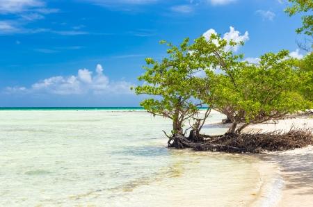 antilles: Mangrove tree near the turquoise calm water at a virgin beach in Cuba