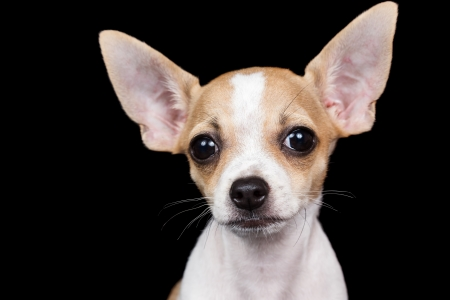 Portrait of a small chihuahua dog looking at the camera with a funny expression isolated on a black background