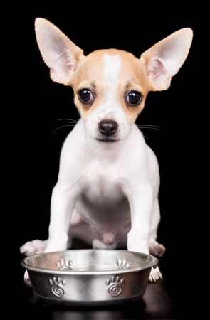 bowl water: Sweet chihuahua puppy with big ears standing on a black background with a water bowl Stock Photo