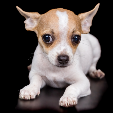 Cute chihuahua puppy lying on a black background