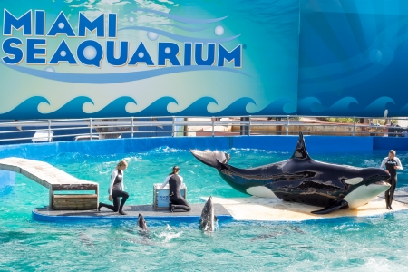 Lolita,the killer whale at the Miami Seaquarium Founded in 1955,the oldest oceanarium in the United States,the facility receives over 500,000 visitors annually