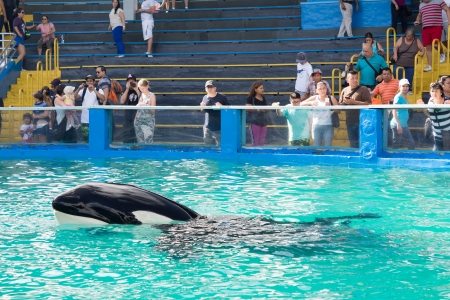 lolita: Lolita,the killer whale swimming near visitors at the Miami Seaquarium Founded in 1955 the facility receives over 500,000 visitors annually Editorial