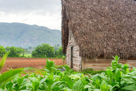 curing: Tobacco plantation and tobacco curing barn at the famous Vinales Valley in Cuba Stock Photo