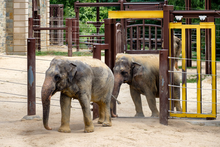 animal in the wild: Elephants at the Smithsonian National Zoological Park in Washington D.C.