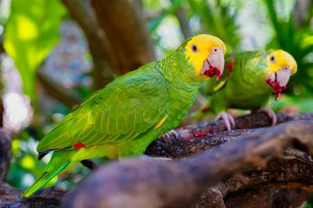 Un couple de perroquets à tête jaune perché sur une branche d'arbre Banque d'images