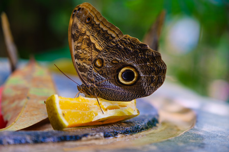 Butterfly feeding on an orange with an out of focus vefetation background Фото со стока