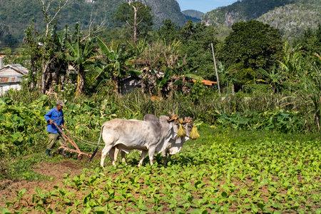 VIÃ'ALES,CUBA - DECEMBER 26,2019 : Farmer ploughing the field at a tobacco plantation in Cuba