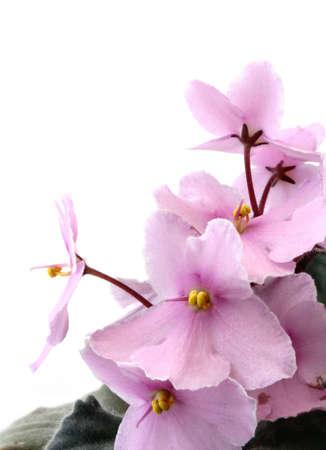 violets: violets on white Stock Photo