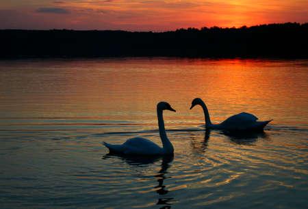 swan pair: loving couple