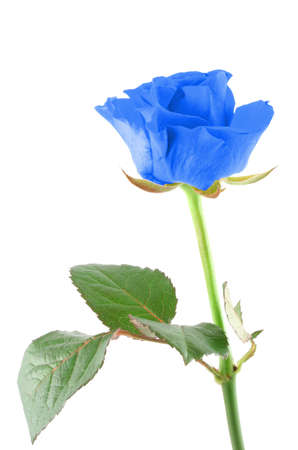 winter rose Stock Photo