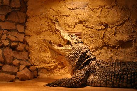 crocodile in a terrarium photo