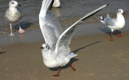 croud: spread wings