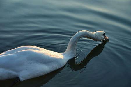 murk: swan #2