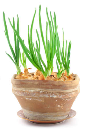 chive: home-grown chive in a vintage pot Stock Photo