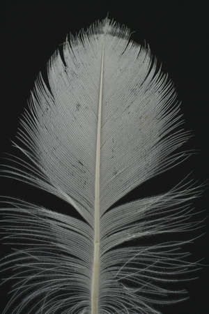 lightsome: feather on black