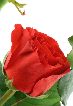 gorgeous red rose on white photo