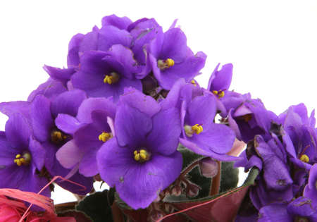 violets: bunch of fresh violets on white Stock Photo