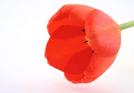 developed: tulip�n desarrollado en blanco
