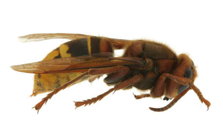 horrifying: hornet extreme macro